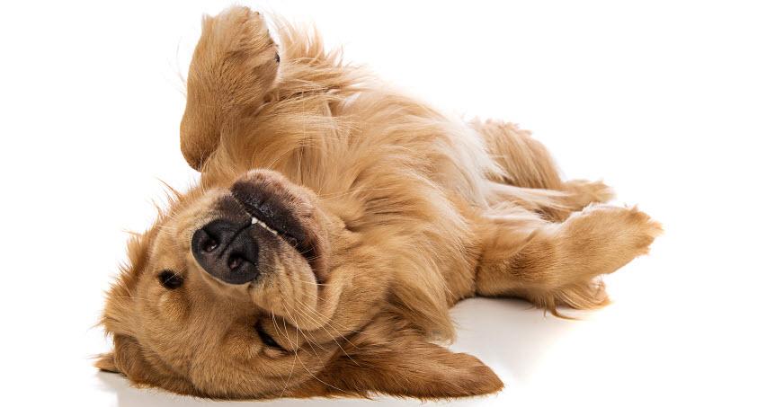 855e3e26c Hunde solbriller til hunde beskyttelse ægte coolness